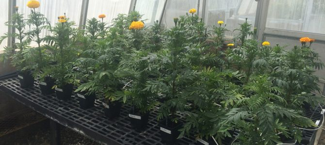 Biochar could replace unsustainable peat moss in greenhouse industry