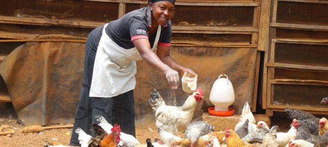 Tough times, tough birds: Kenyan farmers swap back to hardy chickens